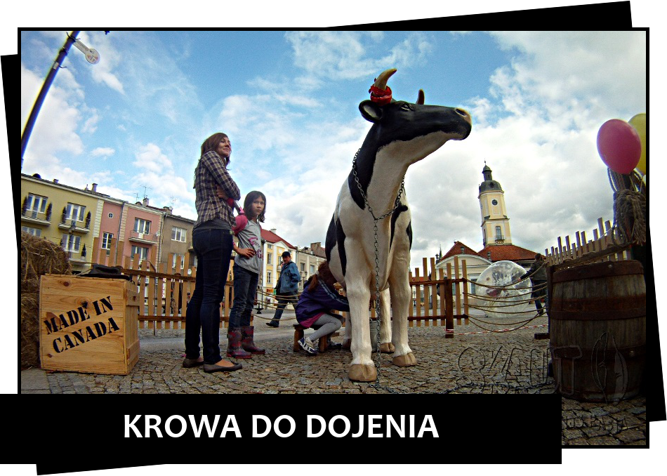 krowa-do-dojenia
